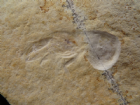 NEW SHRIMP - SOLNHOFEN LIMESTONE